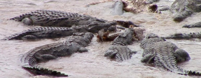 Crocs eat hippo at Pondoro Game Lodge