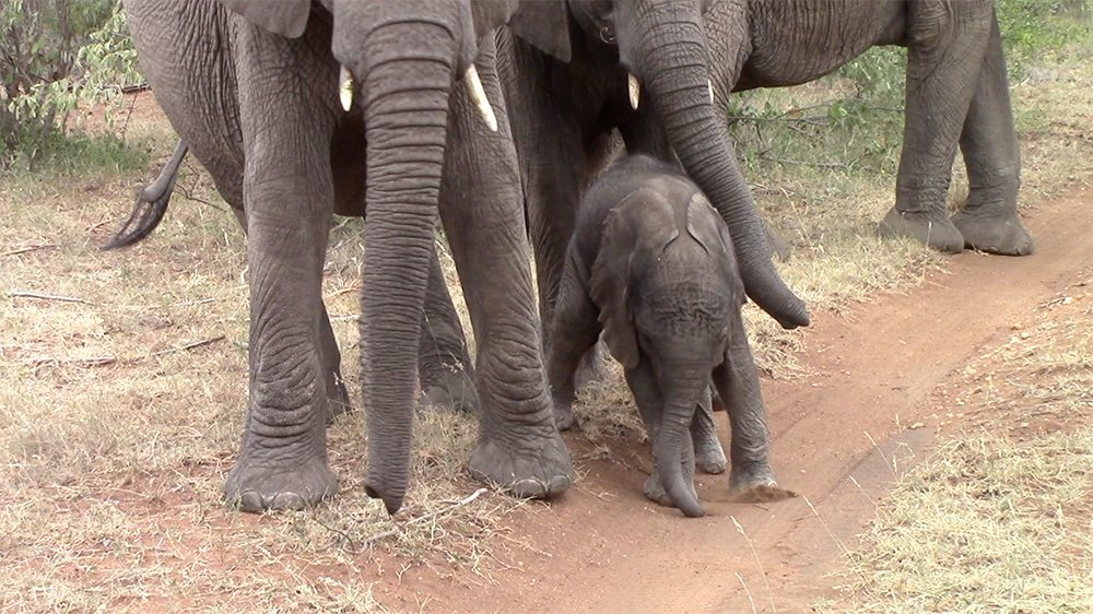 Elephant calf at Pondoro Game Lodge