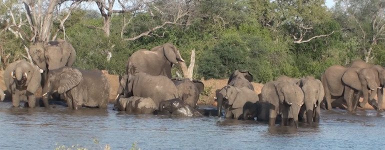 Elephants swimming at Pondoro Game Lodge