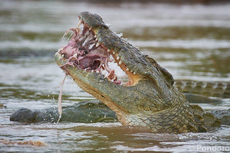 Crocodile at Pondoro Game Lodge