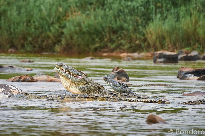 Crocs eat hippo at Pondoro