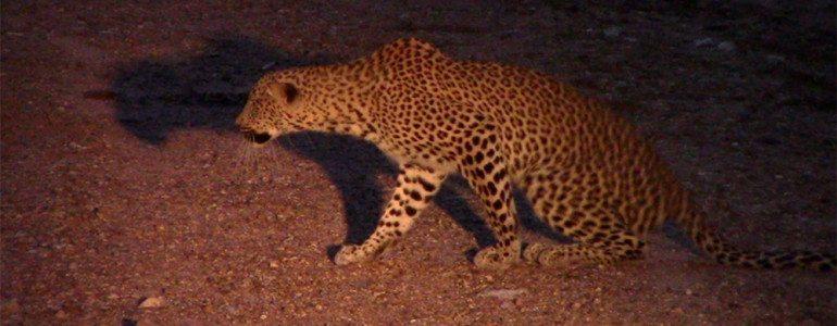 Leopard female at Pondoro