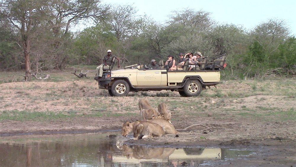 Lion pride drinking at Pondoro Game Lodge
