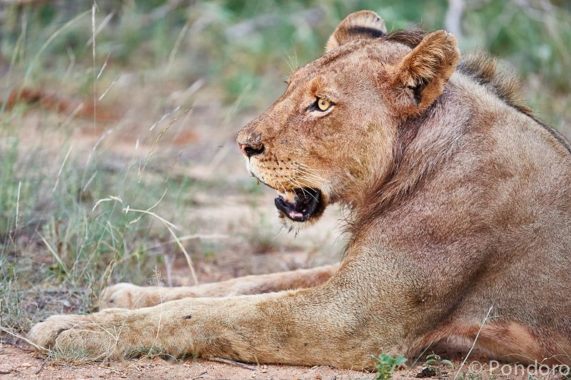 Lioness at Pondoro Game Lodge