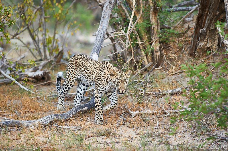 Leopard at Pondoro Game Lodge