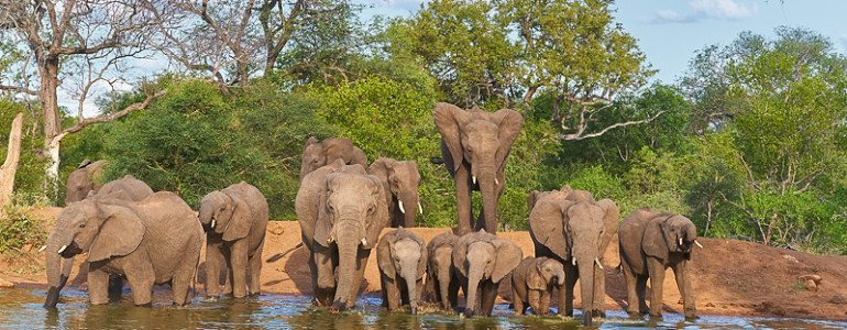 Elephant herd drink at Pondoro