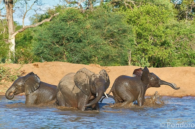 Elephants play at Pondoro Game Lodge
