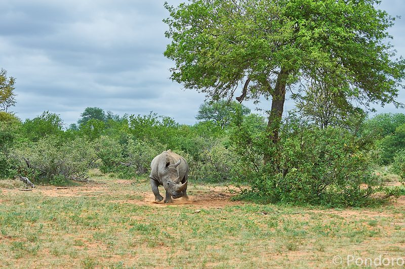 White rhino at Pondoro Game Lodge