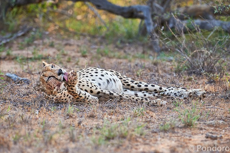 Cheetah grooming at Pondoro Game Lodge