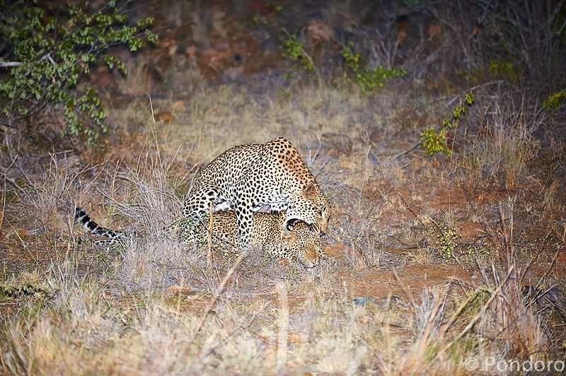 Mating leopards at Pondoro Safari Lodge