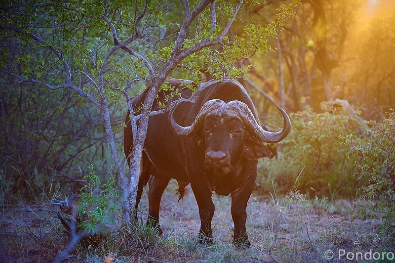Buffalo at Pondoro Game Lodge