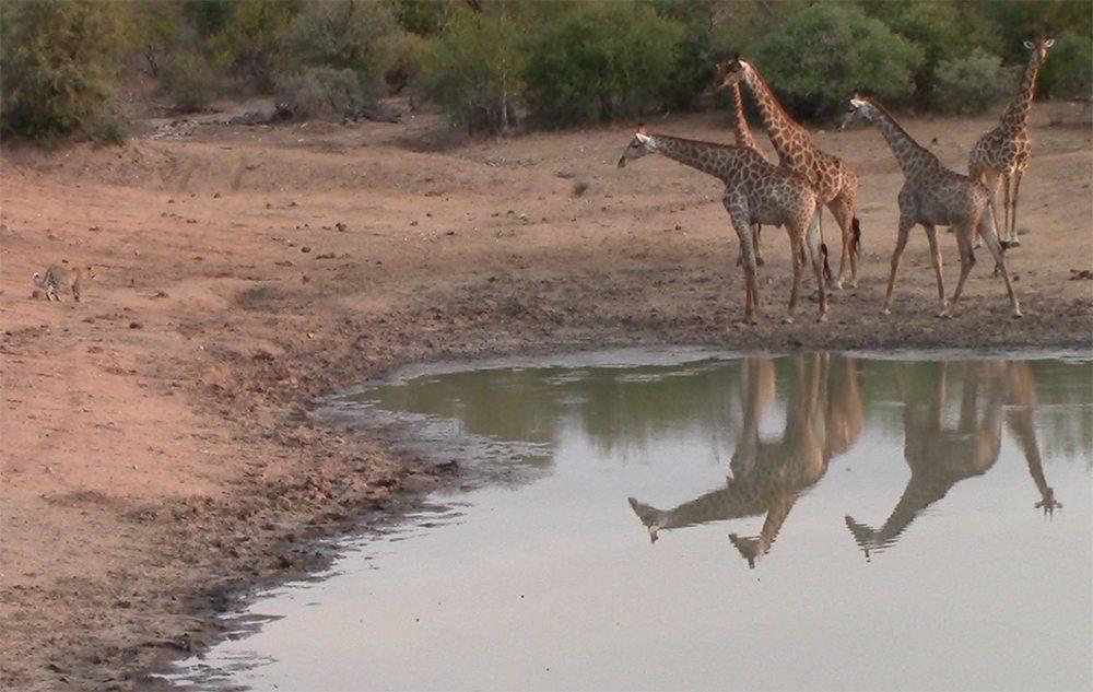 Giraffes follow leopard at Pondoro Game Lodge
