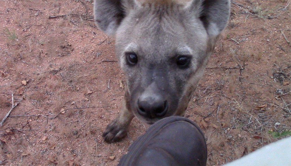 Hyena bites foot at Pondoro