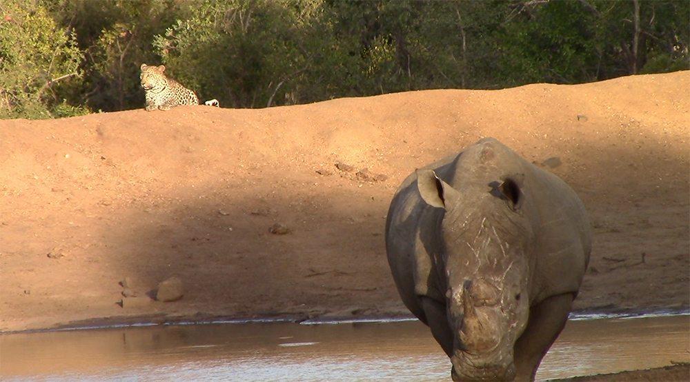 Leopard and rhinos at Pondoro
