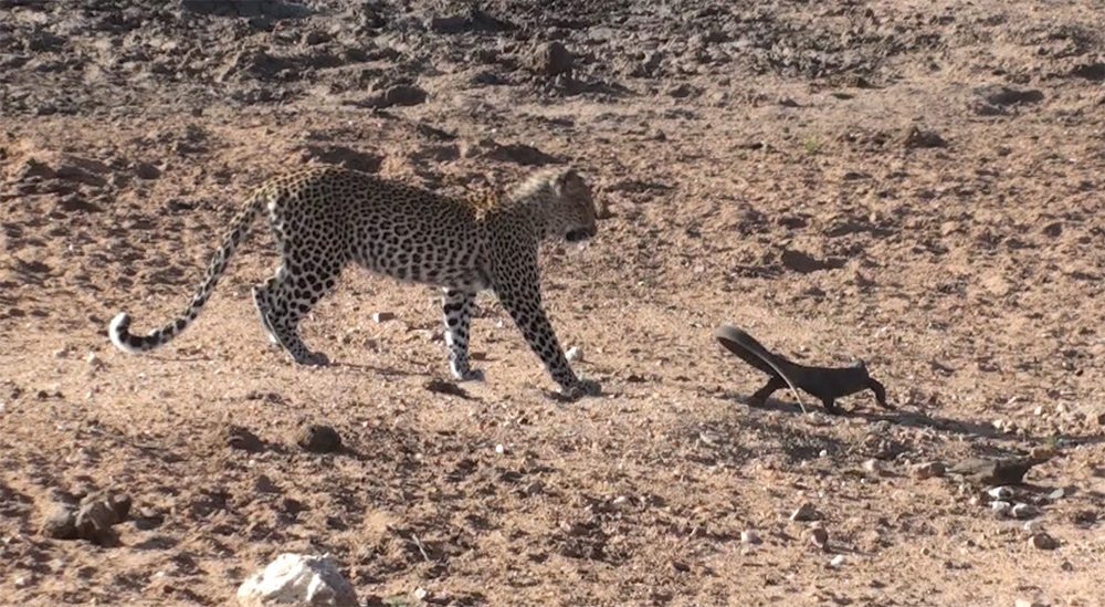 Leopard and rock monitor at Pondoro Game Lodge