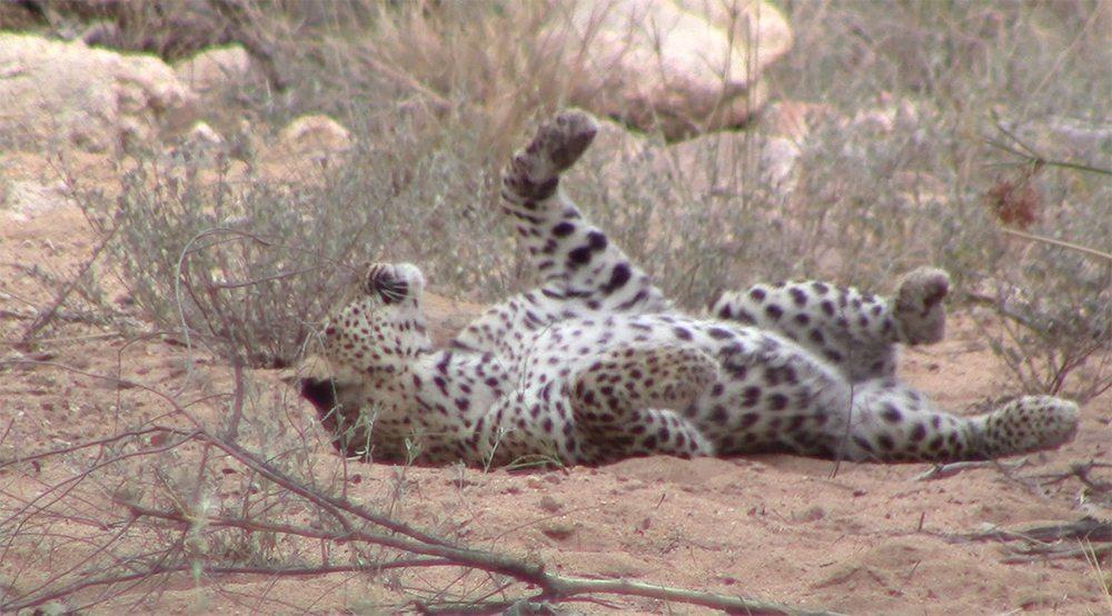 Leopard rolling at Pondoro Safari Lodge