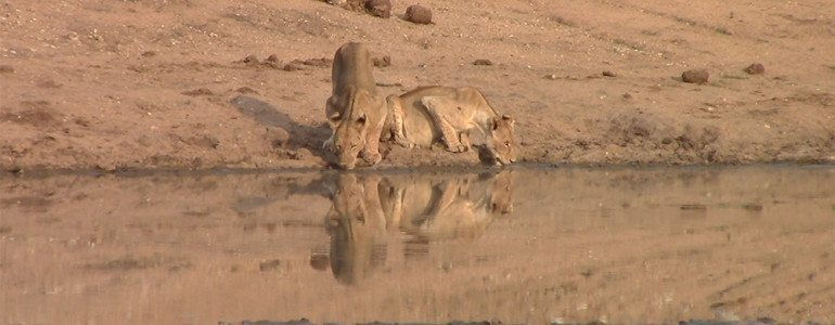 Lions drinking at Pondoro Game Lodge