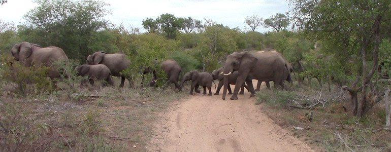Elephant herd crossing at Pondoro Safari lodge