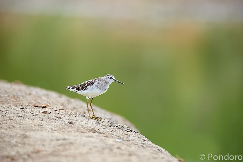 Wood sandpiper at Pondoro game Lodge