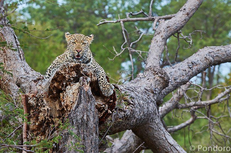 Leopardess at Pondoro Game Lodge