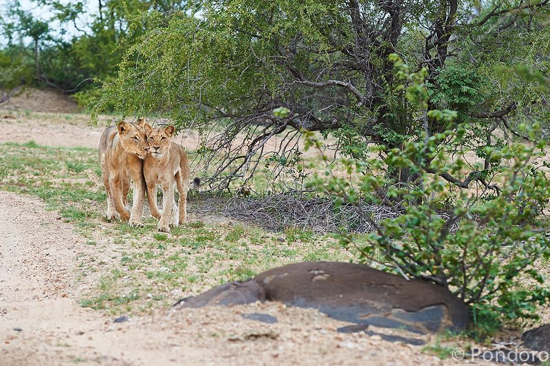 Lions at Pondoro Game Lodge