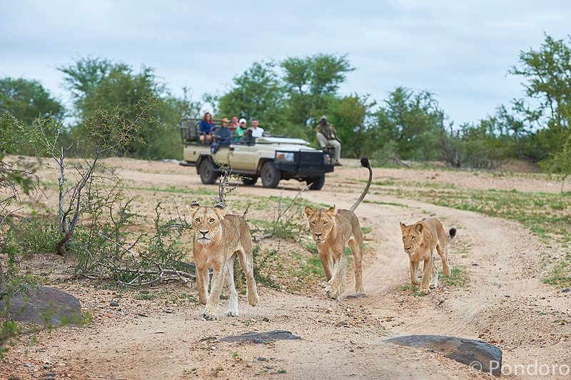 Lions on Pondoro safari