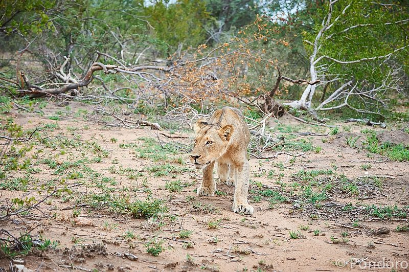 Lion hunting at Pondoro Game Lodge