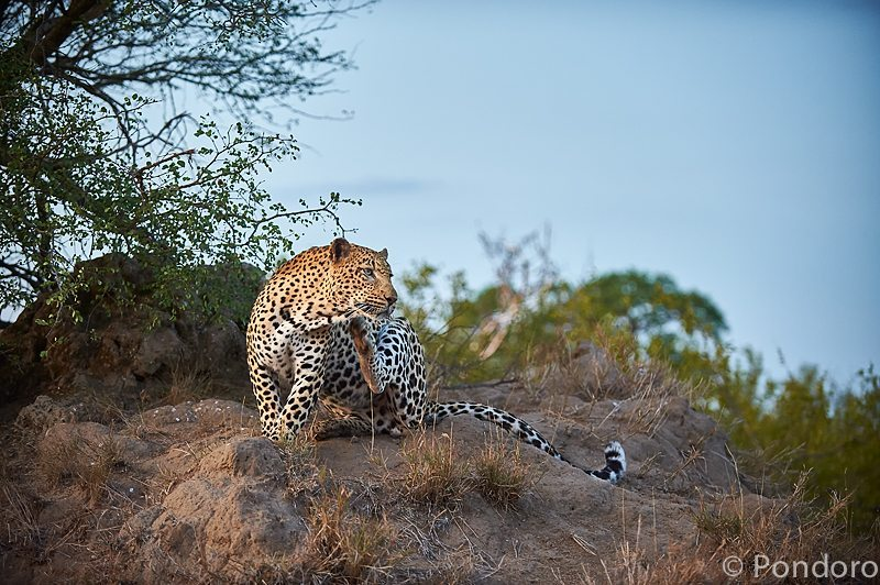Leopard grooming at Pondoro