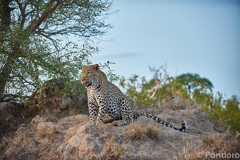 Leopard at Pondoro Safari Lodge