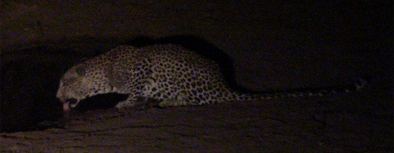 Leopard drink at Pondoro Safari Lodge