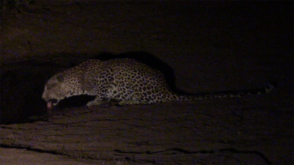 Leopard drink at Pondoro Safari Lodge