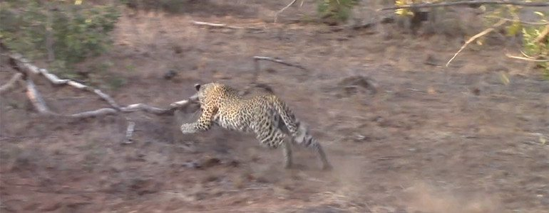 Leopard catch squirrel at Pondoro