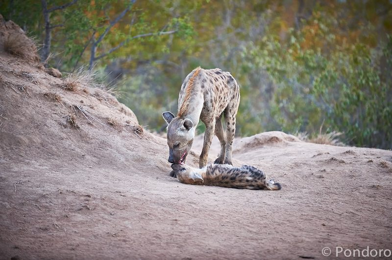 Hyena at Pondoro