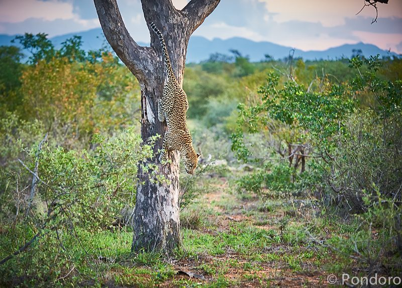 Leopard in a tree at Pondoro safari Lodge