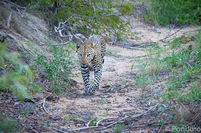Male leopard at Pondoro safari