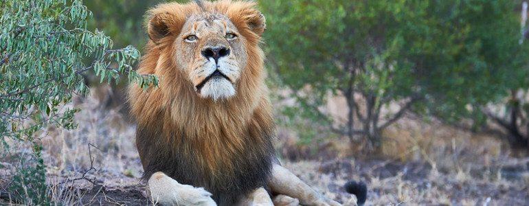 Mohlabetsi male lion at Pondoro Game Lodge