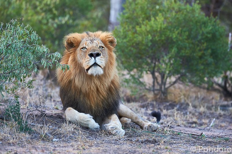 Lion safari sightings at Pondoro Game Lodge