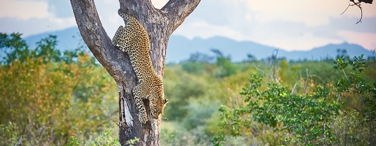 Leopard in a tree at Pondoro Game Lodge