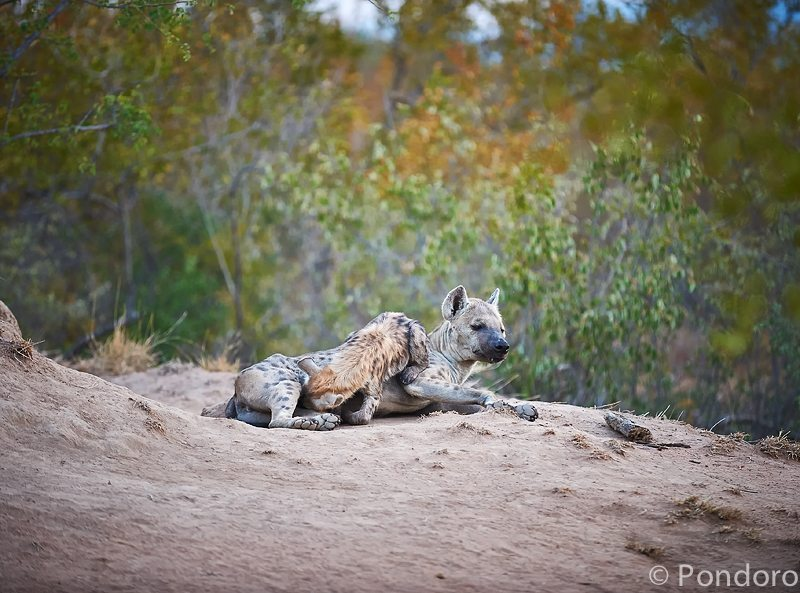 Hyena cub suckling at Pondoro