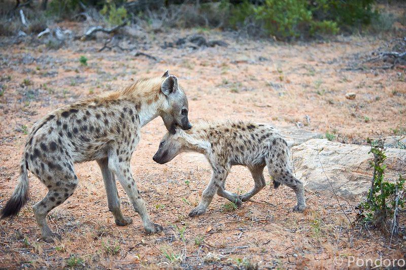 Hyenas playing at Pondoro