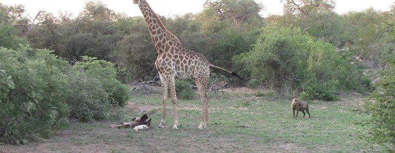 Giraffe mother chasing hyenas at Pondoro Game Lodge