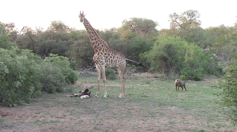 Giraffe mother chasing hyenas at Pondoro Game Lodge