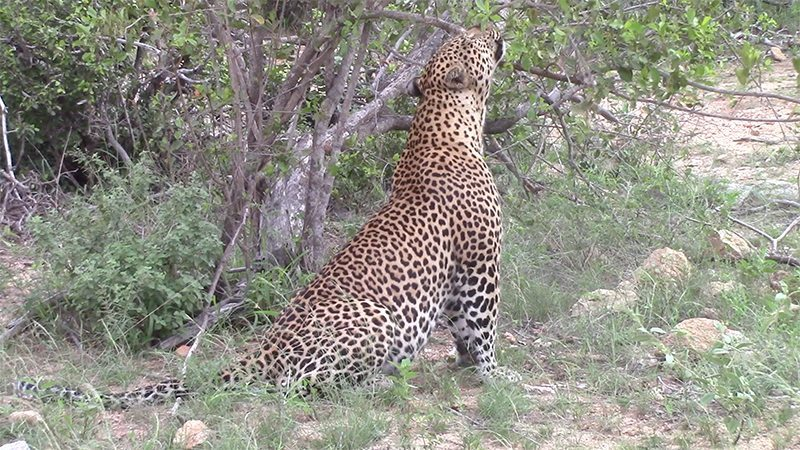 Leopard scent marking at Pondoro Game Lodge
