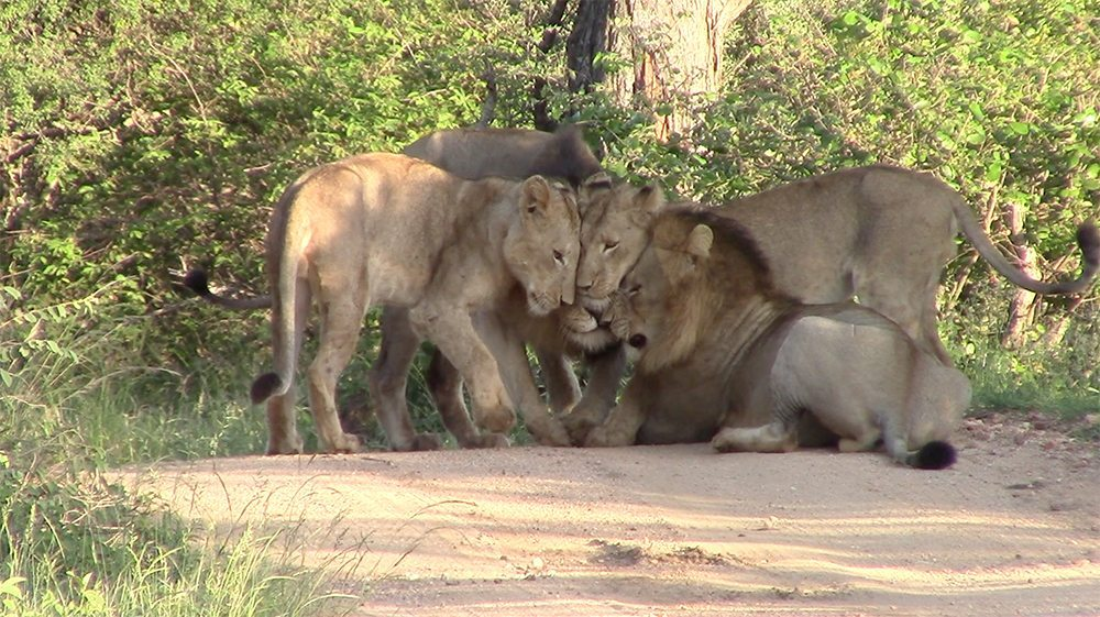 Mohlabetsi male lion coalition at Pondoro