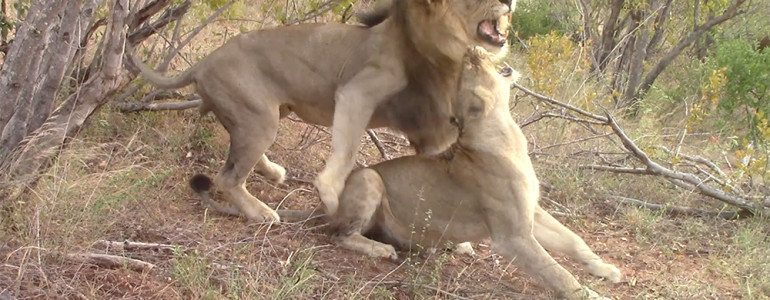 Mating lions at Pondoro Game Lodge