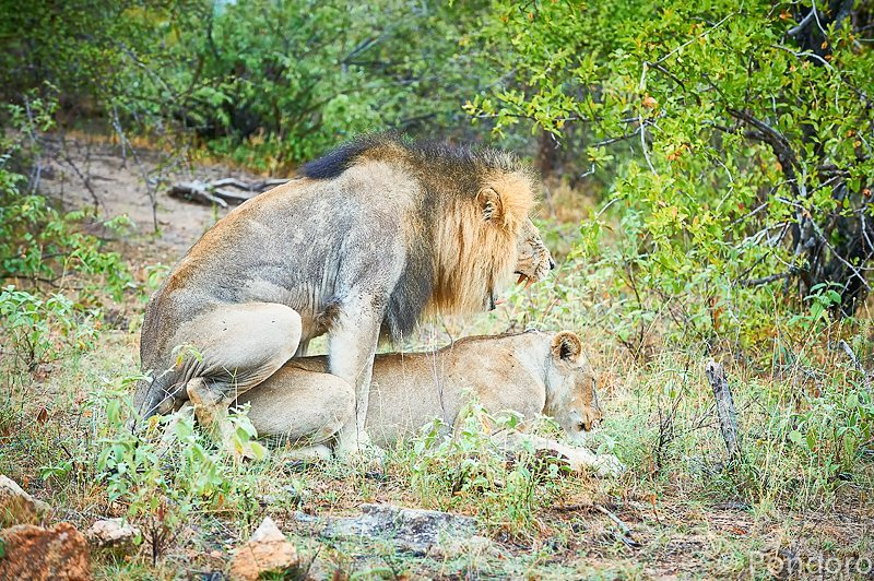 Safari sightings of lions at Pondoro Game Lodge