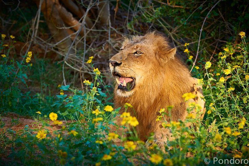 Singwe pride lion at Pondoro safari lodge