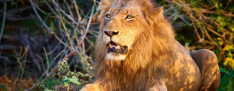 Singwe pride male at Pondoro Game Lodge