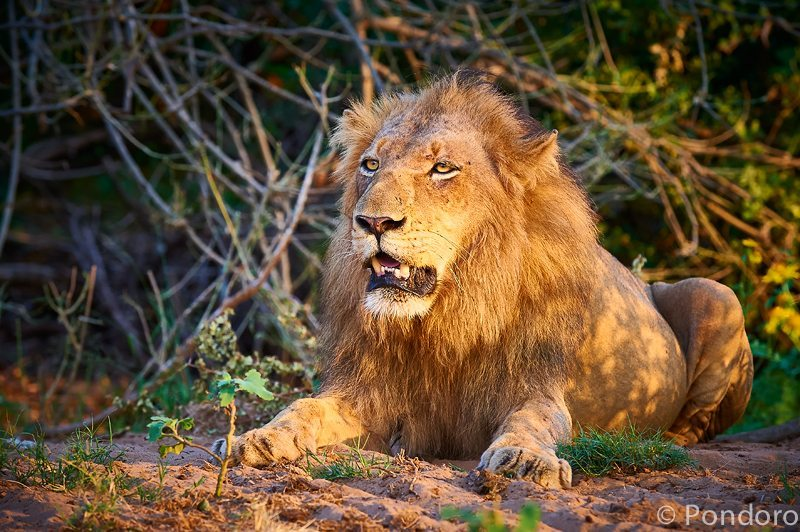 Single pride male lion at Pondoro Game Lodge