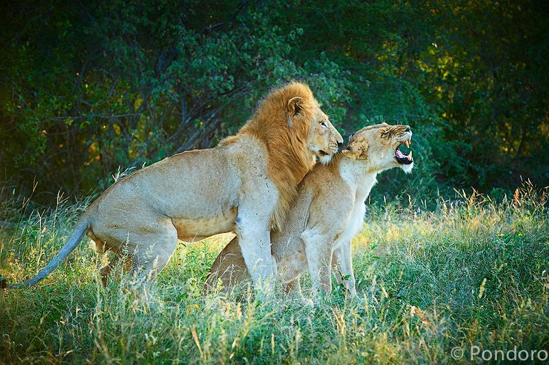 Mating lions at Pondoro